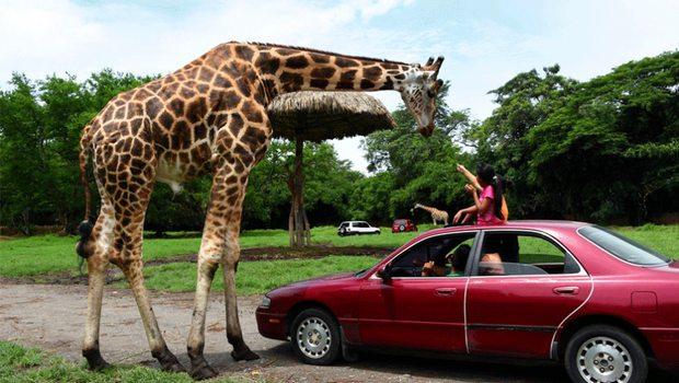 Auto Safari Chapin
